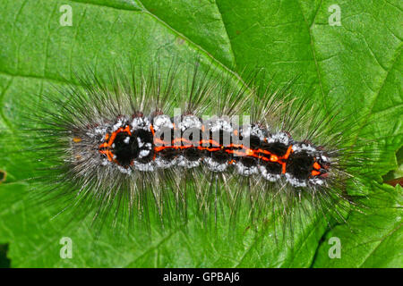 Yellow tail moth caterpillar, Euproctis Similis, It feeds on a variety of scrubs and its hairs are irritating. - Stock Photo