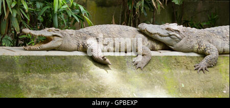 Crocodiles resting in the sun - Stock Photo