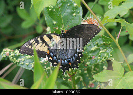 A mosaic (or possible gynandromorph) Eastern Tiger Swallowtail butterfly (Papilio glaucus) at Big Oaks NWR, Indiana, - Stock Photo