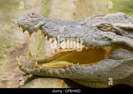 Crocodile resting in the sun - Stock Photo