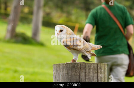 An owl in captivity - Stock Photo