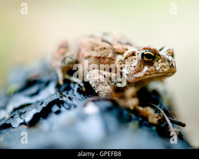 Toad on Leaf Litter - Stock Photo