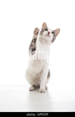 Cute trained cat want to eat in the white background. He born in the photo studio 's garden and love to being in - Stock Photo
