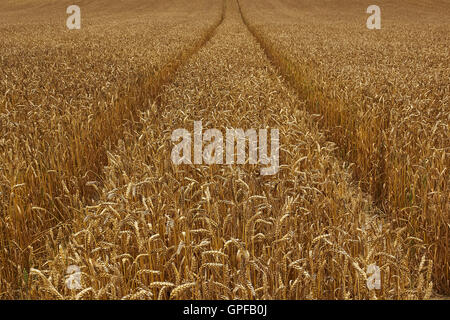Wheat field with ripe crop and tracks into the distance in Surrey South East England - Stock Photo