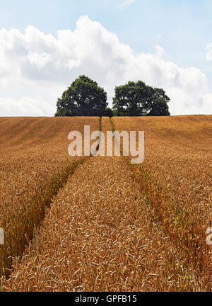 Wheat field with ripe crop and tracks to distant trees in Surrey South East England - Stock Photo