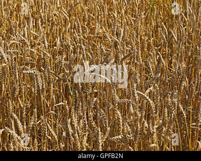 Wheat field with ripe crop in Surrey South East England - Stock Photo