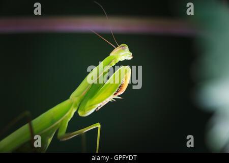 Praying Mantis Mantis religiosa close up - Stock Photo