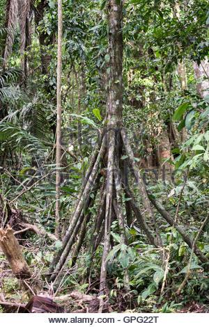 Walking palm or cashapona tree. Tambopata reserve, Amazon rainforest, Peru - Stock Photo