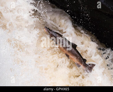 A determined Atlantic Salmon (Salmo salar) powers it's way up Rogie Falls in Scotland - Stock Photo