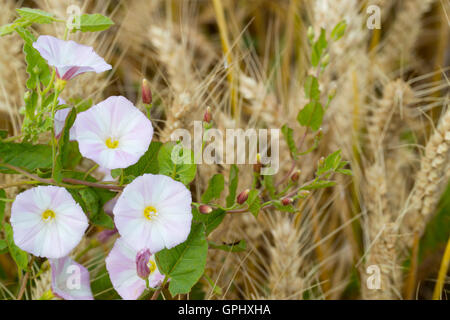 Field bindweed in wheat field - Stock Photo