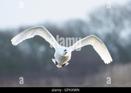 an adult Mute Swan (Cygnus olor) in flight against winter scene, Dungeness RSPB, Kent, UK - Stock Photo