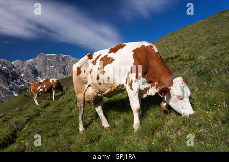 Alpine cow grazing in the meadow on the slopes of Dolomites in South Tyrol, Italy - Stock Photo