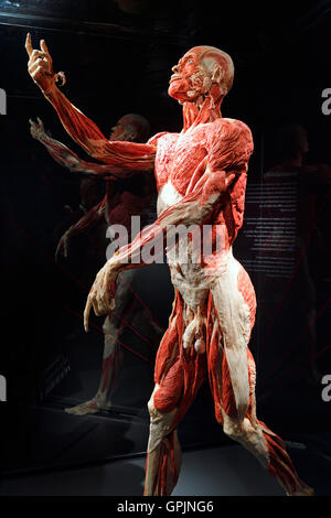 plastinate, male human body, body worlds, menschen museum, berlin, Muscles