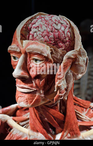 Anatomy Specimen Of Human Brain Stock Photo Royalty Free Image