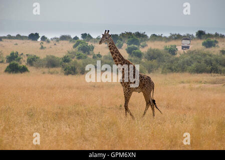 Giraffes in Masai Mara National Reserve in Kenya , Africa - Stock Photo