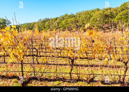 Grape vines in autumn, Adelaide Hills area, South Australia - Stock Photo
