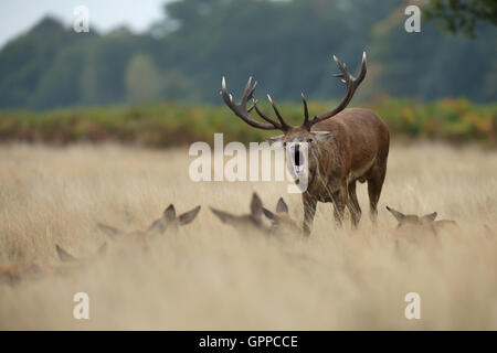 Red deer stag roaring near the hinds during the rut - Stock Photo
