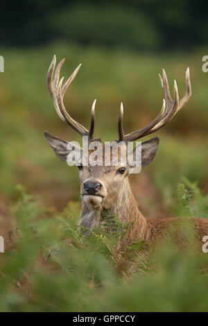 Close up of a young red deer stag - Stock Photo