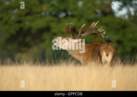 Red deer stag roaring with a Jackdaw on his back - Stock Photo