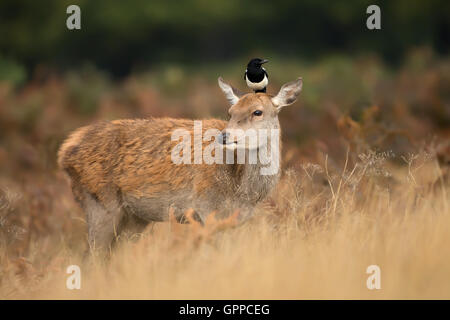 Red deer hind with a magpie on her head - Stock Photo