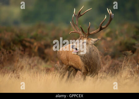 Red deer stag roaring - Stock Photo
