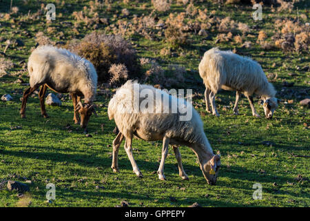 Three sheep graze in a green field at sunset in Kos island, Greece - Stock Photo