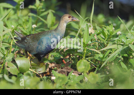 Purple gallinule (Porphyrio martinicus) walking through swamp, Kissimmee, Florida, USA - Stock Photo