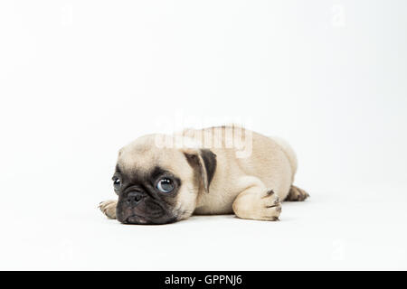 A pug puppy lying down in a white background - Stock Photo