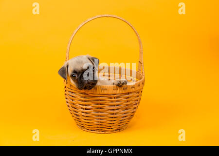 A beautiful pug puppy place in a basket - Stock Photo