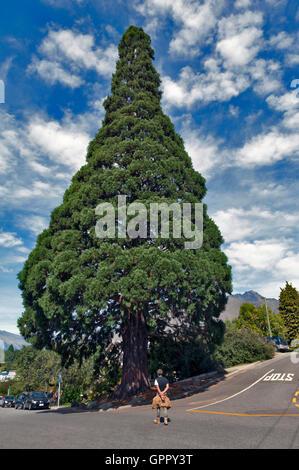 Queenstown, New Zealand - March 2016: Big cedar tree standing in town center of Queenstown, New Zealand - Stock Photo