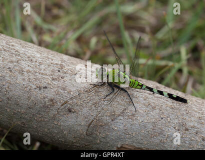 Green dragonfly that is on a small log waiting for food - Stock Photo