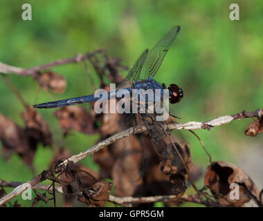 Blue dragonfly that is on a pile of dead brush - Stock Photo