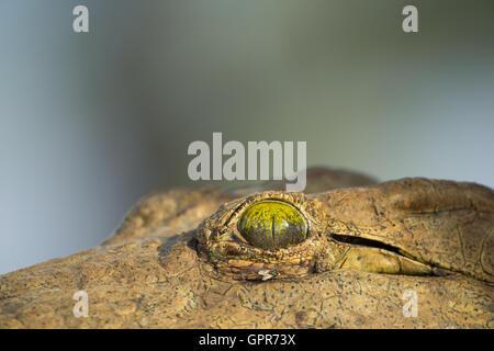 Close-up of a the eye of a Nile Crocodile (Crocodylus niloticus) - Stock Photo