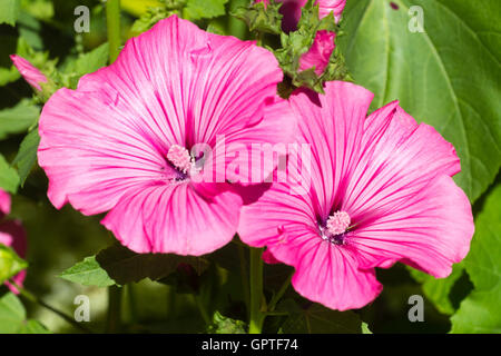 Large pink flowers of the bushy, long flowering annual mallow, Lavatera trimestris 'Silver Cup' - Stock Photo