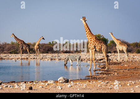 Group of wild animals near a waterhole in the Etosha National Park, in Namibia; Concept for travel in Africa and - Stock Photo