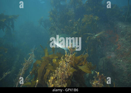 Adult trevally hiding in shallow water kelp forest - Stock Photo