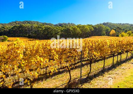 Grape vines in autumn, Adelaide Hills area, South Australia - Stock Photo