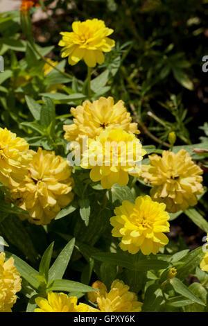 Profusion Yellow Zinnia flowers in garden (Chrysogonum peruvianum) - USA - Stock Photo