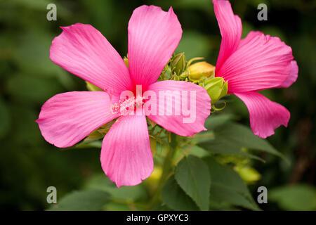 Raspberry Rose rose-mallow (Hibiscus moscheutos) - USA - Stock Photo