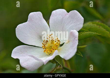 Pale pink flower of a dog rose, Rosa canina, Berkshire, June - Stock Photo