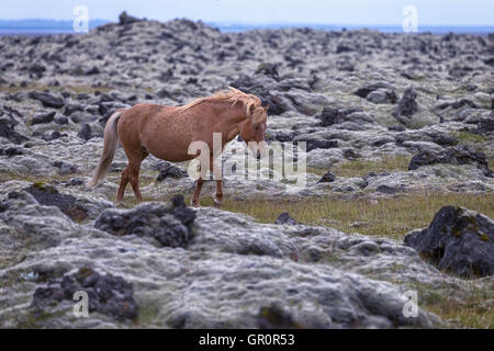an Icelandic horse in a lava field - Stock Photo