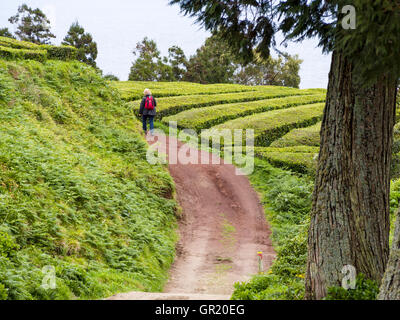 Walking the Tea Plantation. A lone woman walks along a plantation road through the green of the rows of tea bushes. - Stock Photo