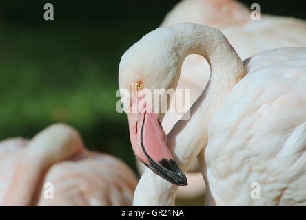 European Greater Flamingo (Phoenicopterus roseus) portrait - Stock Photo