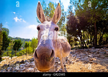 Dalmatian island donkey in nature, animal in the wild, Croatia - Stock Photo