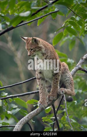 Eurasian Lynx / Eurasischer Luchs ( Lynx lynx ), adult, sitting in a bush or a tree, observing sth. beneath him. - Stock Photo