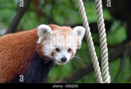 Red Panda - Highland Wildlife Park - Stock Photo
