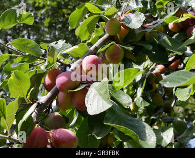 Victoria Plums ripening on the tree branch - Stock Photo