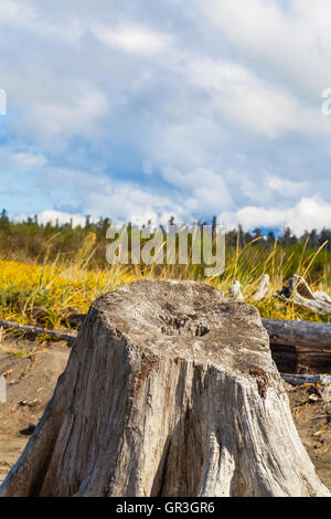 Base of a weathered Western Red Cedar tree washed up on a beach - Stock Photo
