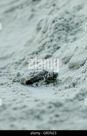 Baby Loggerhead turtle hatching - Caretta caretta | North Carolina - Sunset Beach | Endangered young turtles climb - Stock Photo