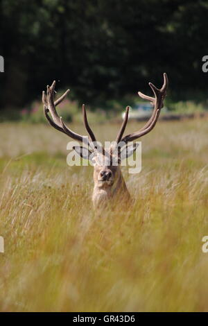 A red deer stag (cervus elaphus) with velvet antlers in open grassland on the Eastern Moors near Sheffield, UK Stock Photo